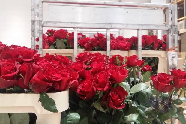 """Die """"Highness""""-Rose ist eine noch junge, vom niederländischen Züchter DeRuiterentwickelte Rosensorte, die in zwei von Kenias höchstgelegenen Rosenfarmen kultiviert wird. Eine solche Rose erhalten alle Ballbesucherinnen zum Abschluss der Veranstaltung."""