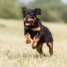 Hund und Katz: Dieser kleine Rottweiler will doch nur spielen