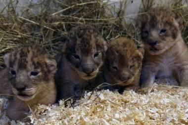 Schock für Tierliebhaber: In diesem Zoo werden kerngesunde Löwenbabys eingeschläfert