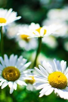 Inhalationen mit Kamille sind als Hausmittel gegen Schnupfen hervorragend geeignet
