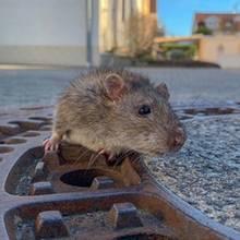 Für den Tierschutz: Gefangene Ratte löst einen Feuerwehreinsatz aus