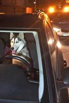 Mist, erwischt! Die Polizei schnappte diesen Hund hinterm Steuer