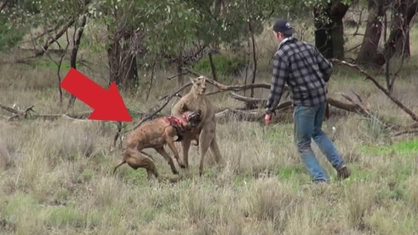 Spektajulär: Mann rettet seinen Hund vor Würgegriff eines Kängurus