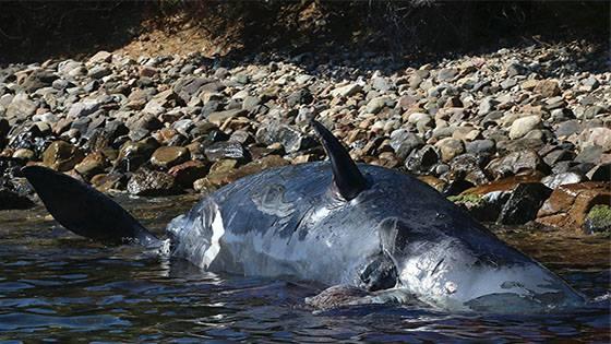 Schwangerer Wal: Mutter und Baby sterben aus diesem sinnlosen Grund