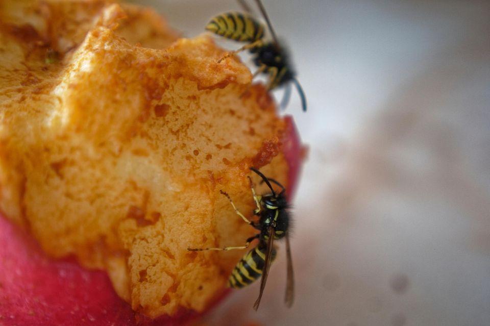 Im Sommer sind die unliebsamen Insekten wieder da: Wespen.