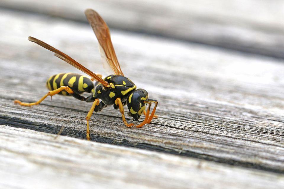 Wespenstiche behandeln ist kein Problem – mit diesen unvergesslichen Tipps