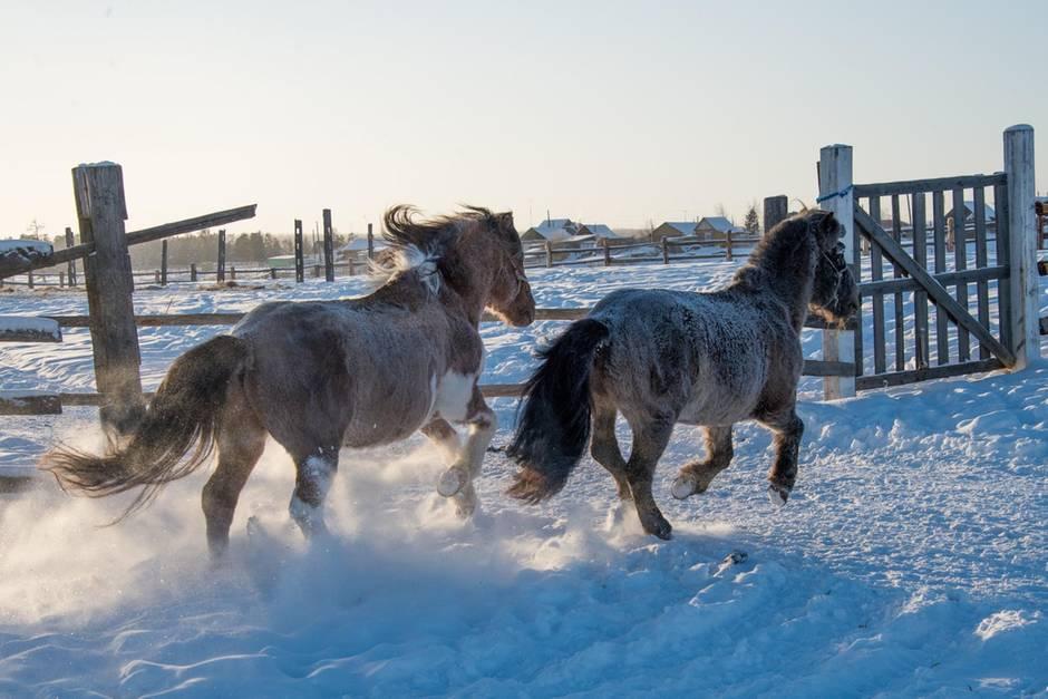 Yakut-Pferde sind ebenfalls kälteresistend und kamen für das Klonen des 42.000 Jahre alten Fohlens in Frage.