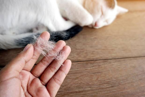 Der Übeltäter ist das Allergen Fel d 1: Durch das Lecken verteilen Katzendas Allergen über das gesamte Fell in den Luftraum. Anschließend wird es vom Menschen über die Atemwege aufgenommen.