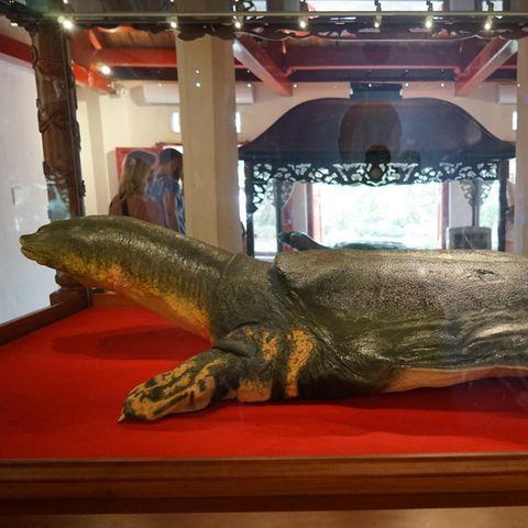 Der Körper der verstorbenen Schildkröte wurde einbalsamiert und in Hanois Ngoc Son-Tempel ausgestellt