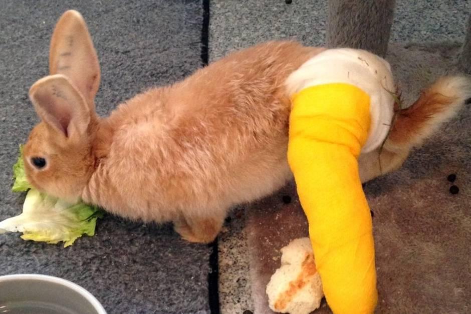 Hase Robin erlitt einen Beinbruch und musste operiert werden