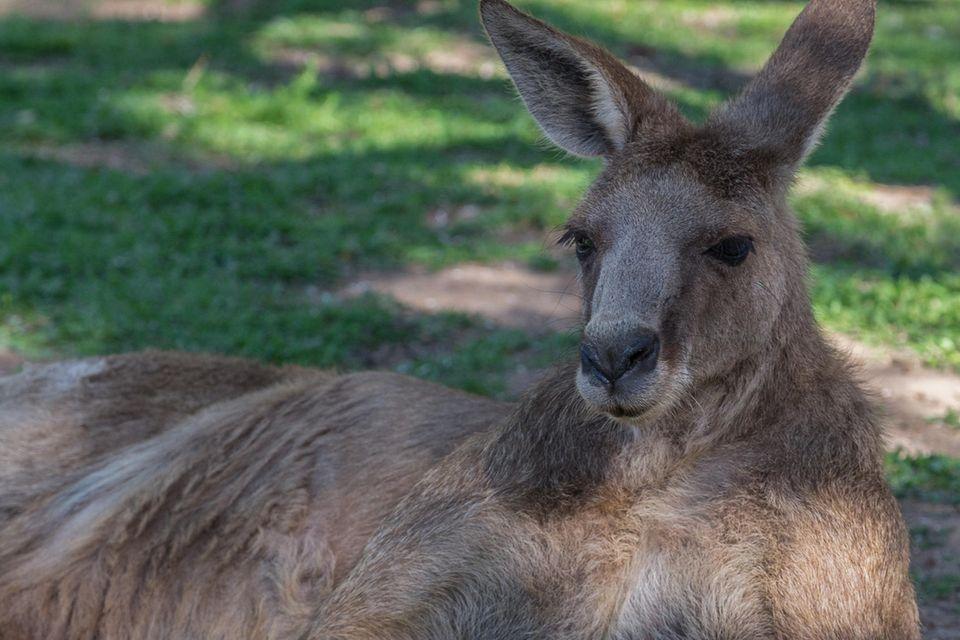 Kängurus können – sofern sie wollen – äußerst stark und angriffslustig sein
