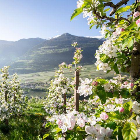 Im Mai stehen die Südtiroler Apfelbäume in voller Blüte.