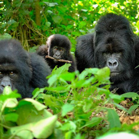 Gorillafamilie im Versteck