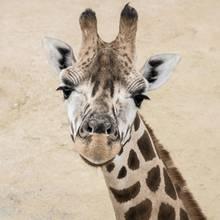 Giraffen-Baby Hasani bekommt therapeutische Gehhilfen (Symbolbild)