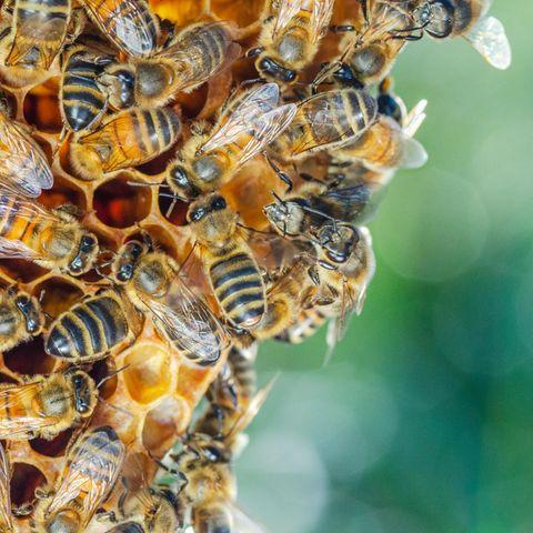 Bienenvölker haben in der Regel eine Population von 5.000 bis 40.000 Bienen