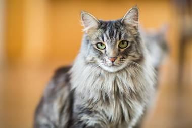 Cat Content: Was die Maine-Coon-Katze von anderen Artgenossen unterscheidet