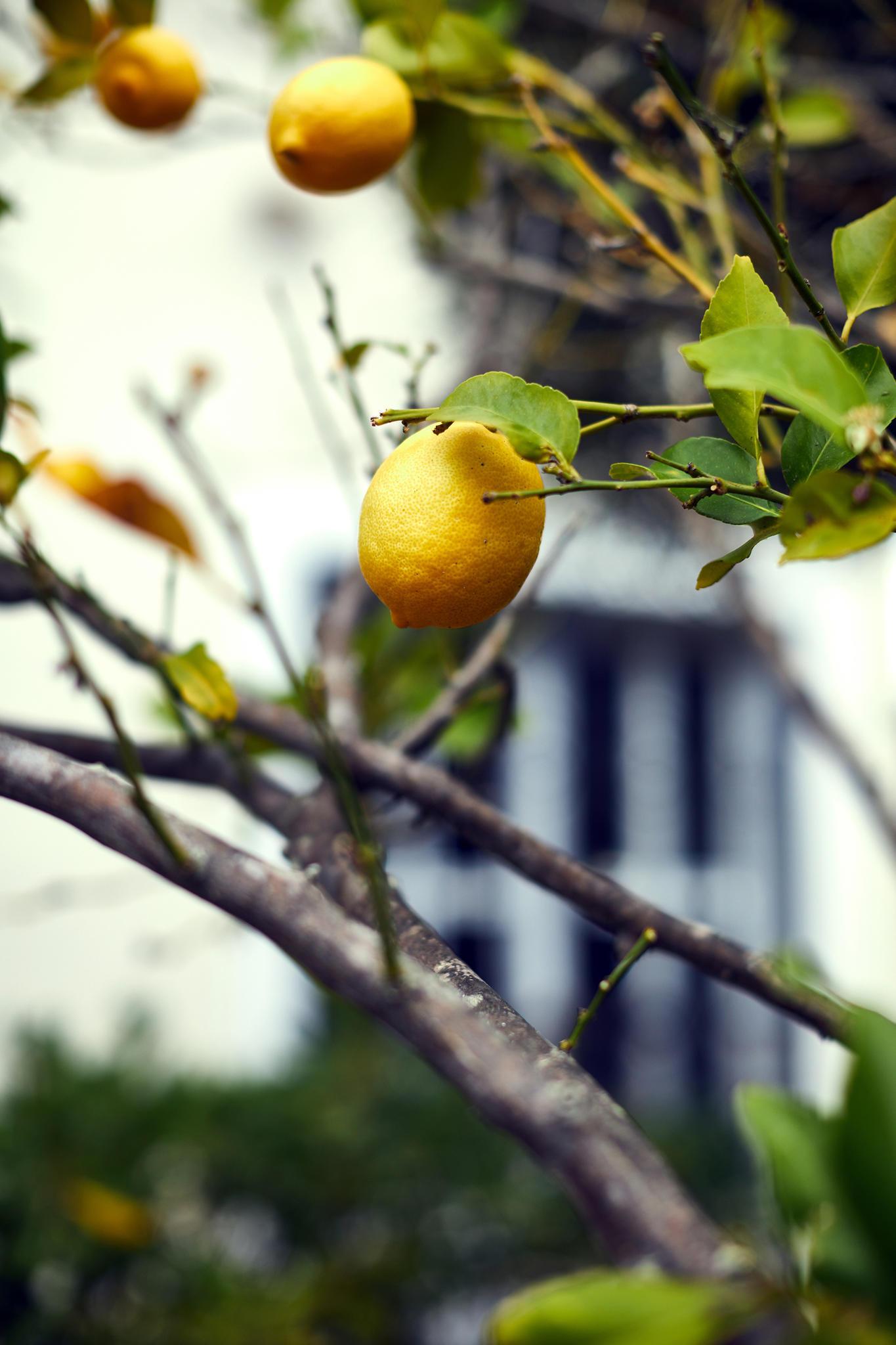 Der Zitronenbaum verleiht der Finca den letzten mallorquinischen Touch.
