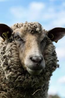altes Schaf