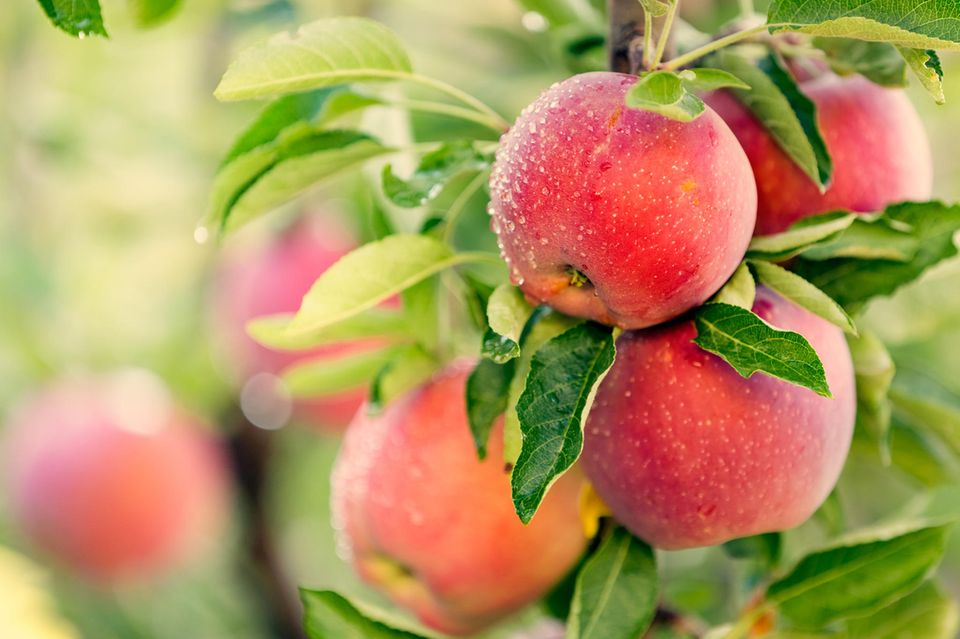Das in den Äpfeln enthaltene Pektin unterstützt den Entgiftungsprozess.