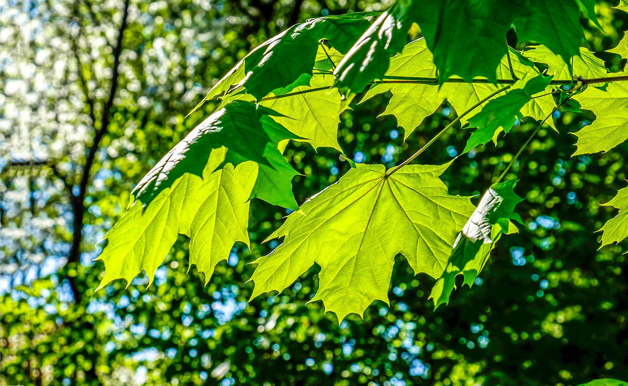 Der Ahorn symbolisiert nach dem keltischen Baumhoroskop Freiheitund Wachstum.