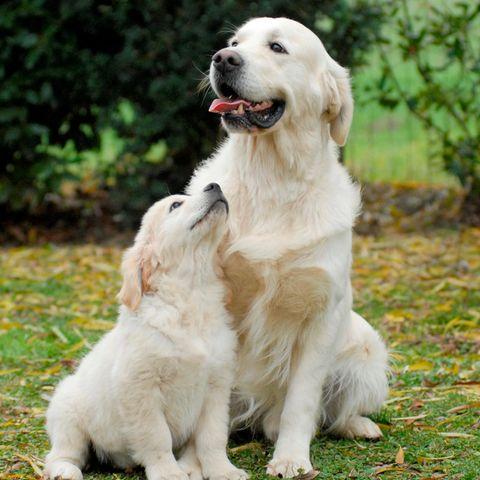 Golden Retriever ist eine der beliebtesten Hunderassen