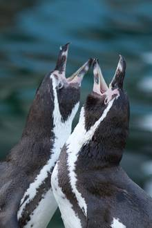 Pinguine bleibenbis an ihr Lebensende zusammen (Symbolbild)