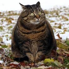 Dicke Katze