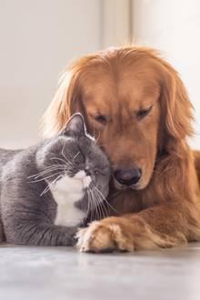 Tierliebe: Diese fünf Katzenrassen verstehen sich gut mit Hunden