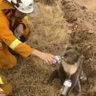 Ein Feuerwehrmann rettet einem Koala das Leben