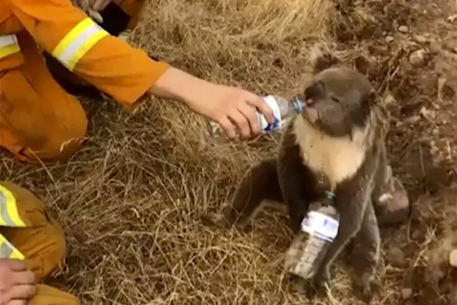 Feuerwehrmänner versuchen verzweifelt, Koalas zu retten