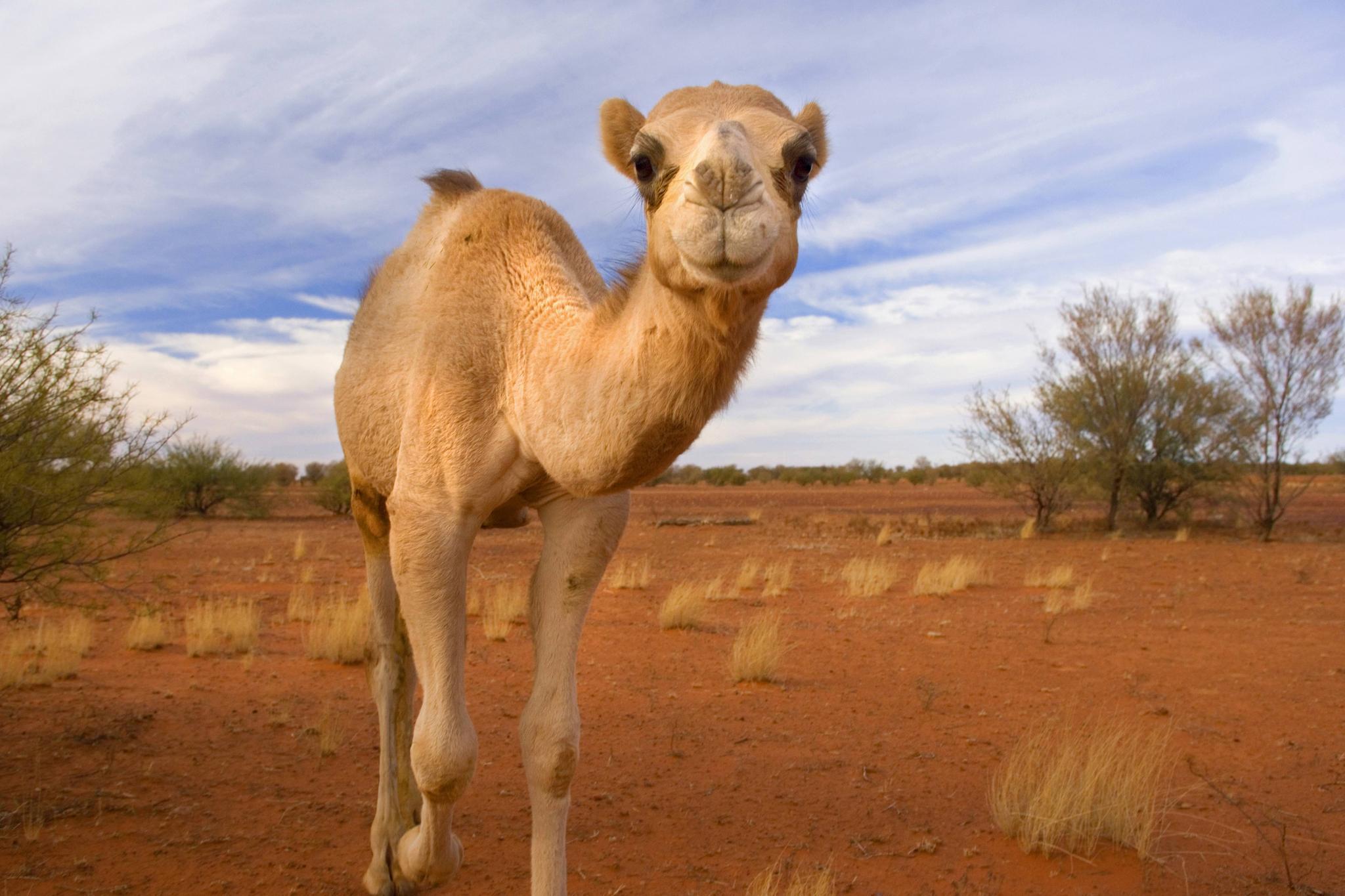 Kamele gelten in Australien als Plage