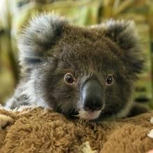Koalas könnten schon bald als bedrohte Art eingestuft werden