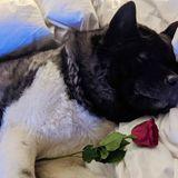 """""""Es geht um Liebe"""", betont Schauspieler Henry Cavill inseinem Instagram-Post. Dass man nicht unbedingt in einer Liebesbeziehung sein muss, um den heutigen Tag zu genießen, belegt er mit diesersüßen Aufnahme von Hund Kal, der zum Ehrentag eine rote Rose bekommt."""
