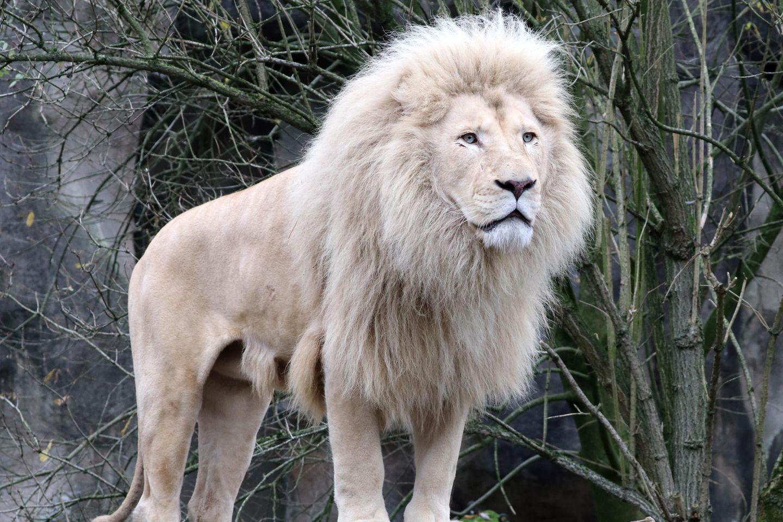 Der weiße Löwe ist eine seltene Farbmutation des Löwen.