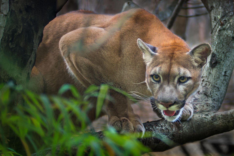 Der Puma griff zunächst einen Zivilisten, dann eine Beamtin an. (Symbolbild)