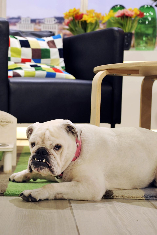 Studiohund Lotte