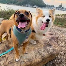 Jack Russell Terrier Dustin (l.) und Corgi Tayto