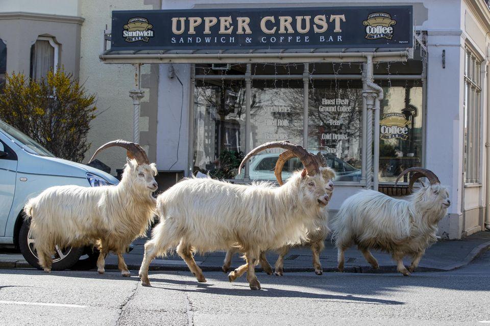 Ziegen übernehmen inLlandudno die Straßen