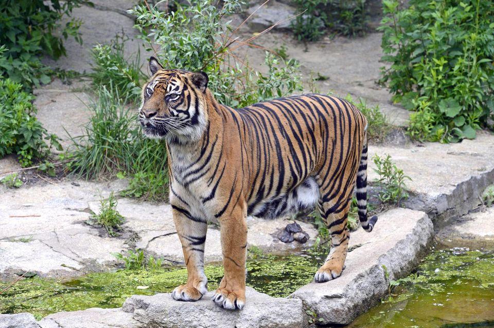 Im New Yorker Bronx Zoo konnte das Coronavirus bei einem Tigerweibchen nachgewiesen werden (Symbolbil)