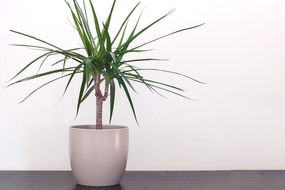 Schöne Zimmerpflanzen: Ein Drachenbaum im Topf.