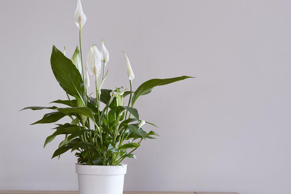 Schöne Zimmerpflanzen: Eine Friedenslilie steht auf einem Esstisch.