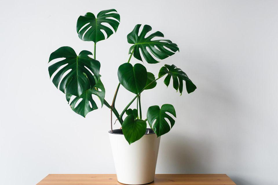 Schöne Zimmerpflanzen: Monstera steht im Topf auf einem Tisch.