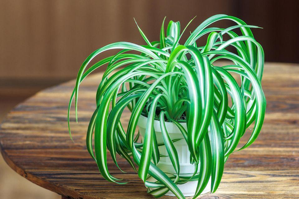 Schöne Zimmerpflanzen: Eine Grünlilie im Topf steht auf einem Holztisch.