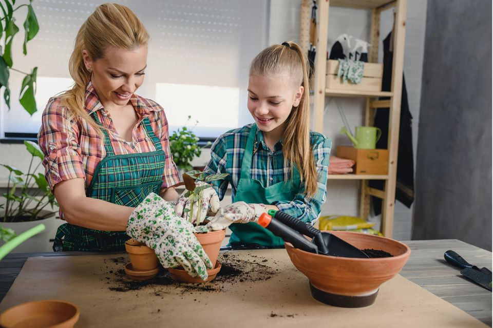 Zimmerpflanzen pflegen: Mutter und Tochter topfen Pflanze um.