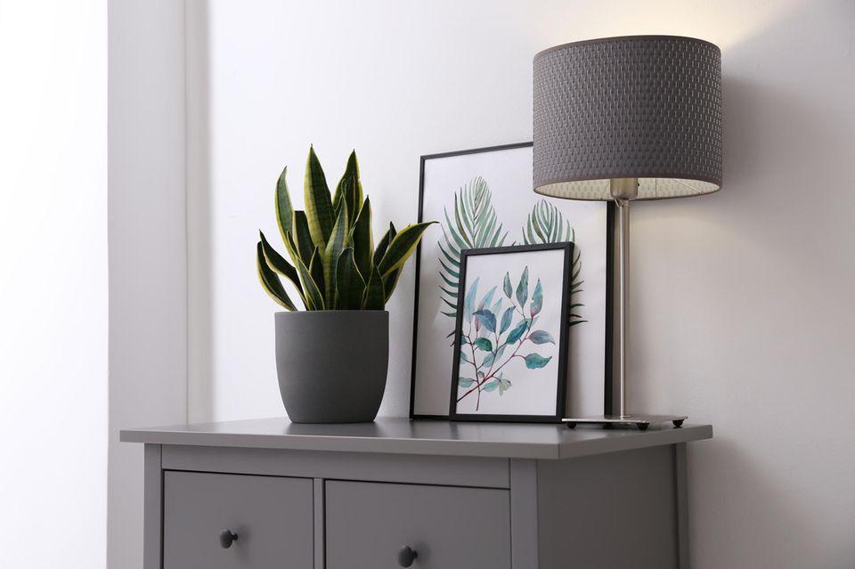 Zimmerpflanzen pflegen: Bogenhanf steht auf einer Kommode.