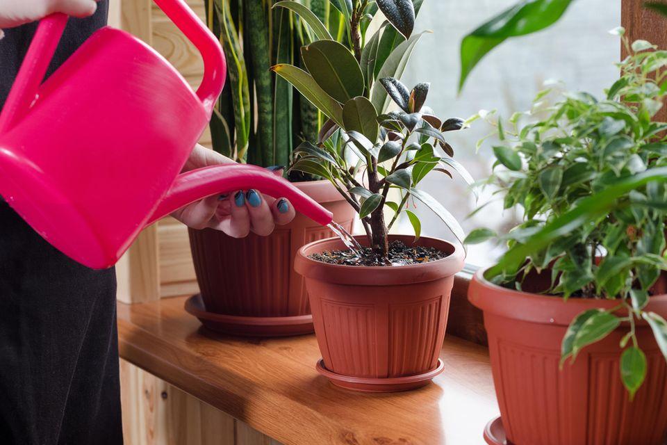 Zimmerpflanzen pflegen: Frau gießt Zimmerpflanze.