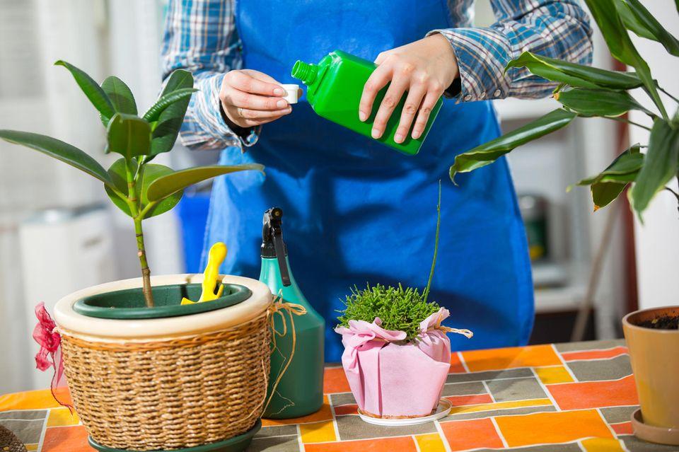 Zimmerpflanzen pflegen: Frau benutzt flüssigen Dünger für ihre Pflanzen.