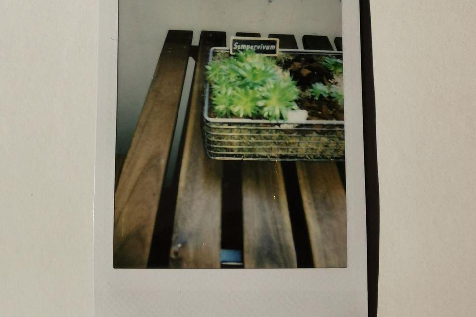 Polaroidkamerabild, Sempervivum