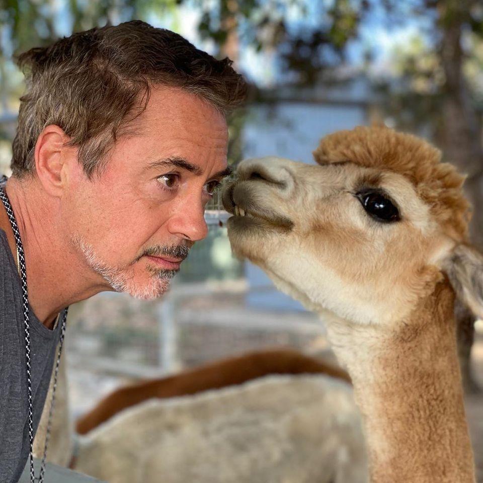 """Iron Man trifft Kuscheltier: Robert Downey Jr. lässt sich von Alpaka Fuzzy einen TV-Tipp geben, """"The Bond"""", produziert vom """"Avengers""""-Star,beschäftigt sich mit der besonderen Beziehung zwischen Mensch und Tierund ist auf dem Discovery Channel zu sehen."""