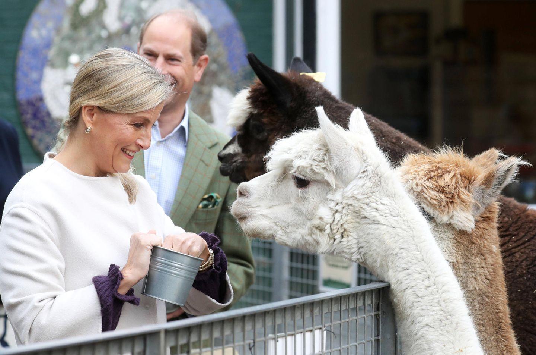 1. Oktober 2020  So macht royale Arbeit tierisch Spaß: Gräfin Sophie und Prinz Edward kommen bei ihrem Besuch derVauxhall City Farm in London in den Genuss, die süßen Alpakas füttern zu können.